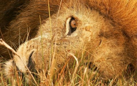 狮子,枪口,草
