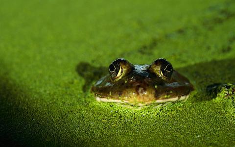 青蛙,蟾蜍,绿色