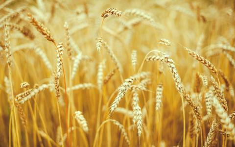 性质,宏,耳朵,黑麦