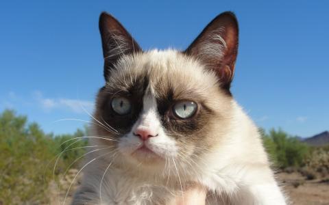 可爱的暹罗猫