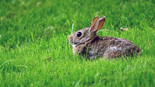 绿色的草坪,兔子