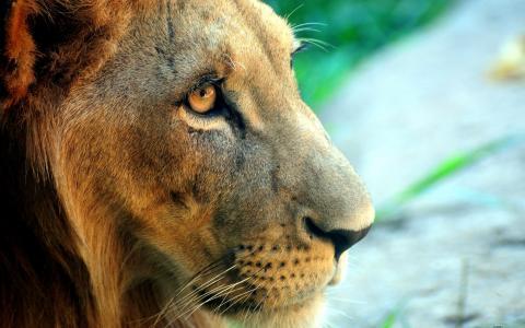 狮子,壁纸
