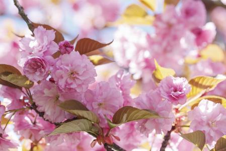 春天,盛开,叶子,花朵,粉红色