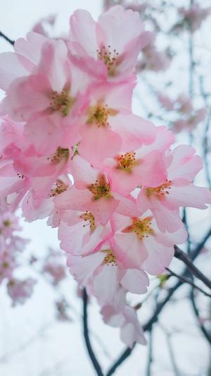 优美迷人的榆叶梅