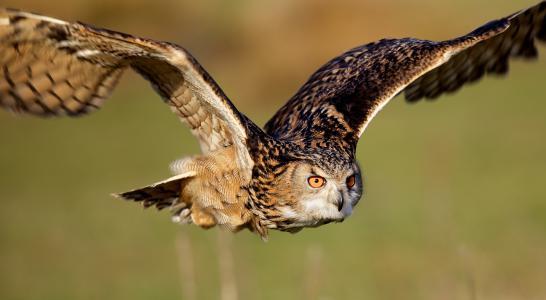 猫头鹰,飞行,翅膀,鸟