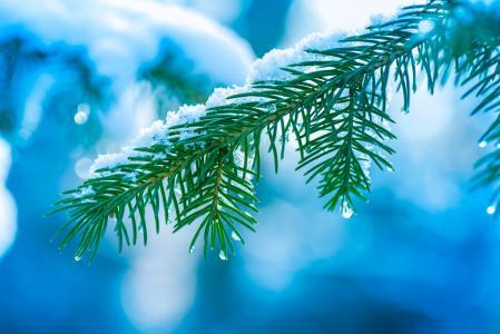 树,分支机构,雪,云杉,针,枞树