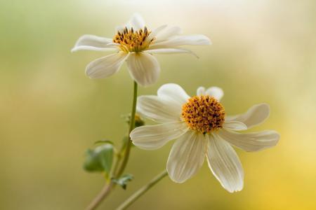 白色,鲜花,大丽花,背景
