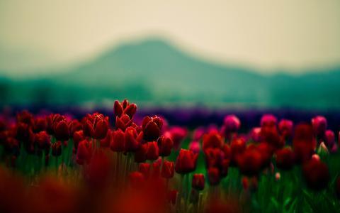 红,郁金香,壁纸