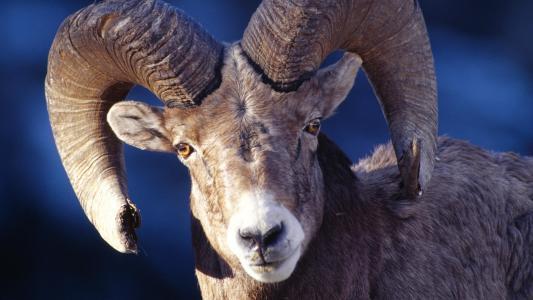 山羊,强大的角