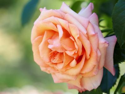玫瑰,宏观,花瓣