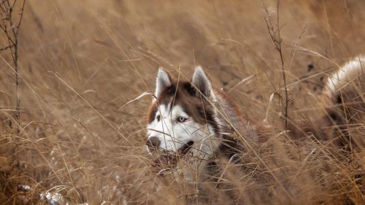 朋友,看,狗,西伯利亚雪橇犬