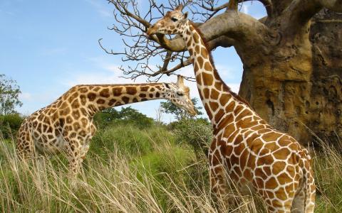 长颈鹿,两个