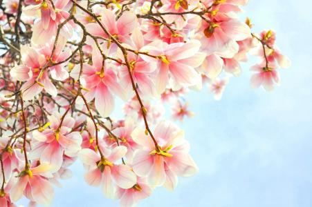 玉兰,分支,鲜花,粉红色