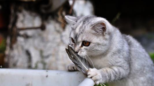 猫,玩,壁纸