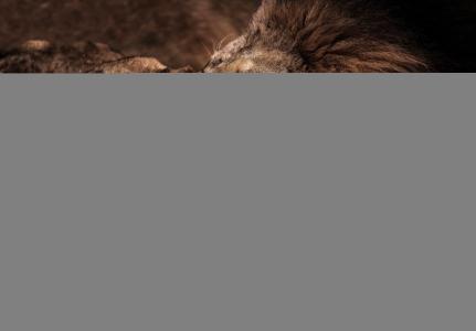 f牙,猫,情侣,母狮,狮子,轮廓