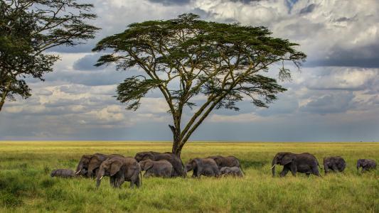草,树,牧群,大草原,大象