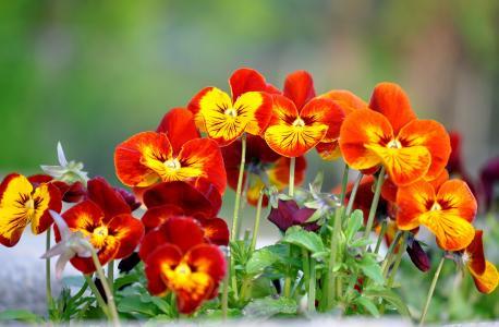 紫罗兰,紫罗兰色三色,中提琴