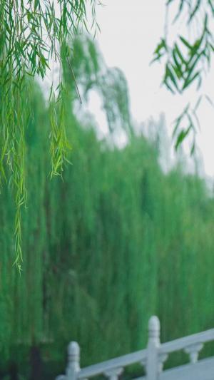 小清新养眼柳叶景色