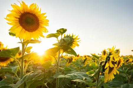 向日葵,自然,植物,太阳