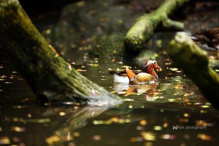 鸭,鸟,池塘