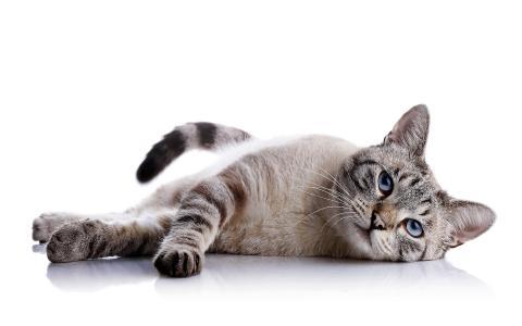 猫,猫,白色背景,反射,谎言