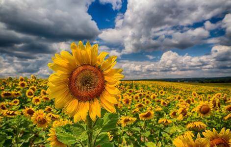 向日葵,领域,云彩