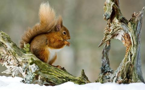 松鼠,绊,雪