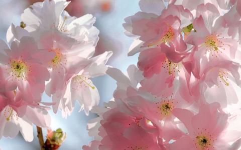 天空,粉红色,花朵,春天,樱花,樱桃,温柔,鲜花,花瓣
