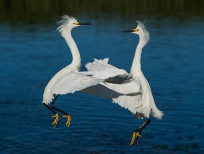 白鹭,舞蹈,华尔兹,鸟类,苍鹭