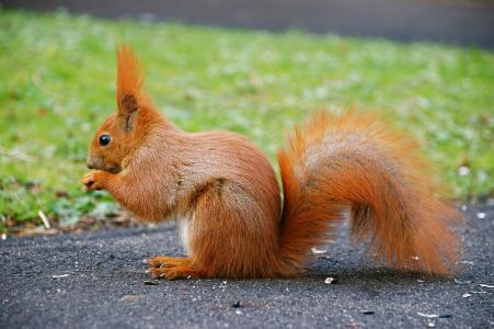尾巴,动物,红色,松鼠
