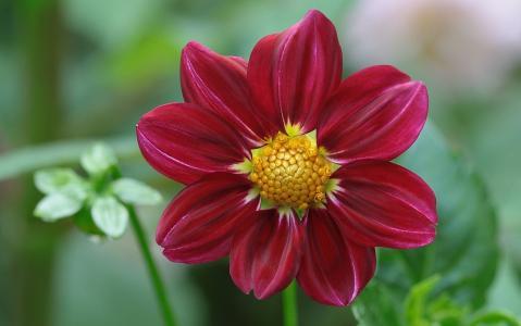 乔治娜,花瓣,宏