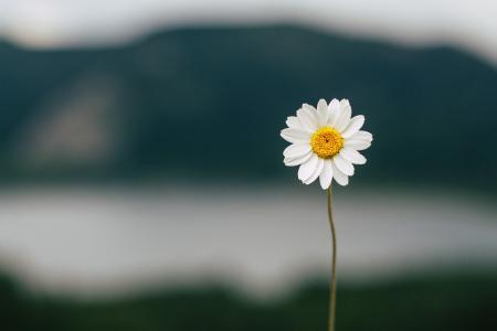 小甘菊清新写真