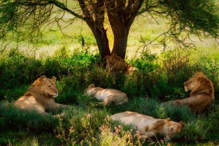 休息,狮子,树