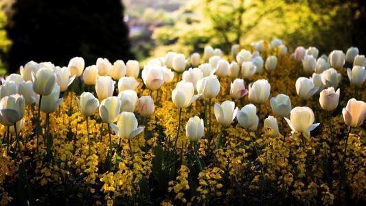 白色的郁金香,开花