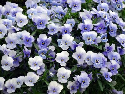 紫罗兰色三色,三色堇,中提琴