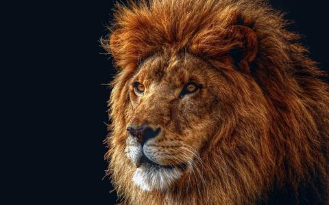 狮子,黑色的背景