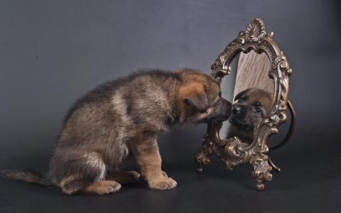 德国牧羊犬,牧羊犬,狗,小狗,镜子,反射