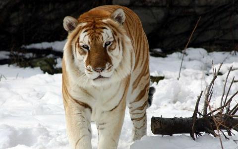 老虎,雪,树枝