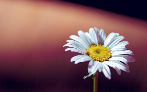 鲜花,花,洋甘菊,背景