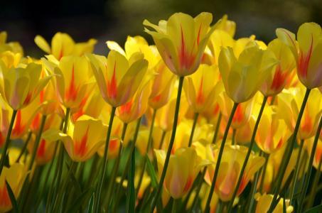 黄色的郁金香,郁金香