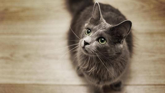 猫上的,地板,壁纸