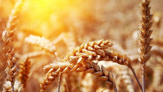 中,小麦,对,日落,壁纸