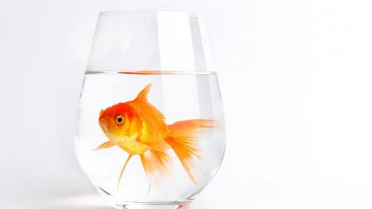 黄金,鱼,壁纸