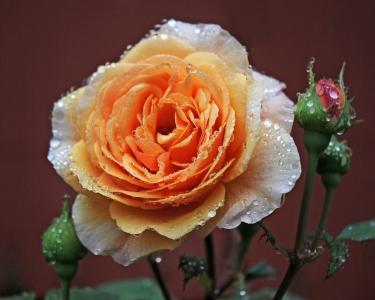 玫瑰,芽,宏,露水,滴
