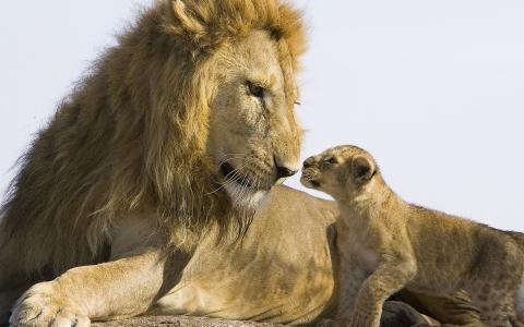 野兽之王,狮子,狮子
