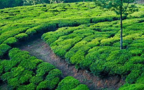 印度,田地,茶园,小径,茶叶