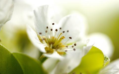 苹果花,春天