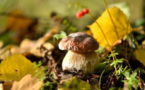 蘑菇,壁纸