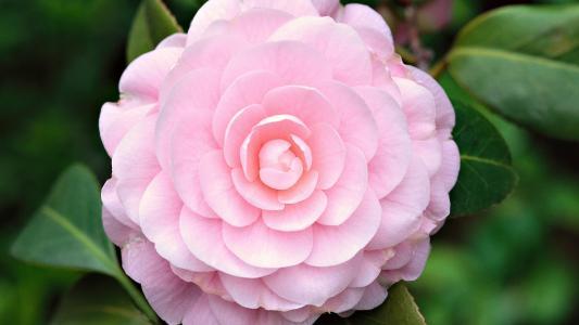 玫瑰,花瓣