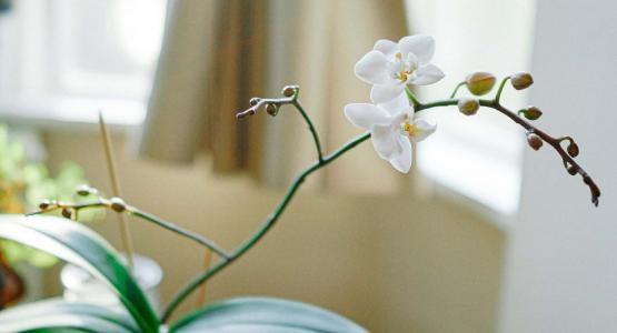 幽雅洁白的蝴蝶兰